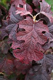 'Ruby Slippers,' a cultivar of our native oakleaf hydrangea, was selected for its colorful fall foliage and its compact form. It might be worth a trip to Oz to acquire this plant, but it is also readily available closer to home.