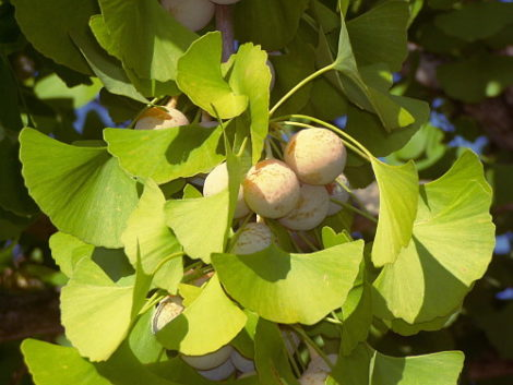 Ginkgos are ancient trees and their seeds are, culinarily, if not botanically, classified as nuts, and are produced on female plants. Both a male tree and a female tree are needed in order for their seeds to develop.