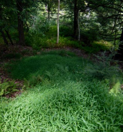 Stilt grass encroaching on native woodland vegetation, September 3, 2016. Photo: Judy Isacoff.
