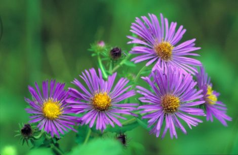 Native asters provide a source of nectar and pollen for a variety of species late in the season. Their flowers are also appreciated by members of the Garden Club of America.