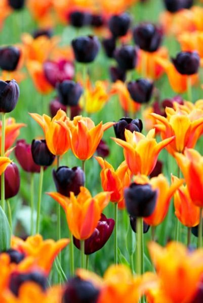 Colorful combinations of tulips can be added to garden beds and grown as annuals, to enjoy in the garden and or use for cutting. They can simply be pulled out when they finish flowering and replaced with summer vegetable crops.
