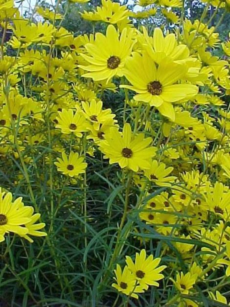 The seedheads of native sunflowers, such as Helianthus salicifolius, can provide food and forage for birds that overwinter in the region and should not be cut down until the spring.