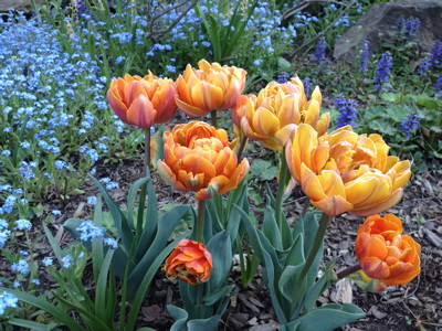 My dear friend Henriette Suhr likened her clusters of tulips at Rocky Hills to the planting of bouquets throughout the border.