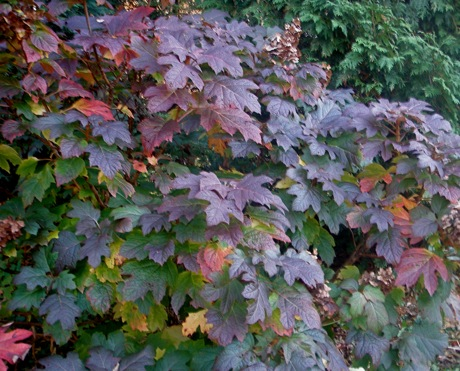 The deep ruby tones of oakleaf hydrangea leaves in the autumn may serve as a form of sunscreen for this North American native.