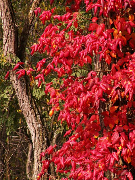 Scientists think that the red fall foliage of poison ivy may be a way of signaling to birds that the fruits of the plant have ripened. This may be an evolutionary strategy to help promote fruit and seed dispersal. This vine can grow quite large.