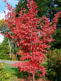 The fall foliage of Cornus kousa is part of an evolutionary strategy that helped trees such as this Asian native to prevent insect predation.