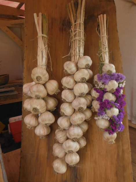 Garlic bulbs on cleaned stems with interwoven everlasting flowers by Annalisa Wild Miller, Palermo, ME www.wildmillergardens.com, as shown at the MOFGA Common Ground Fair, September 25, 2016. Photo by Judy Isacoff.
