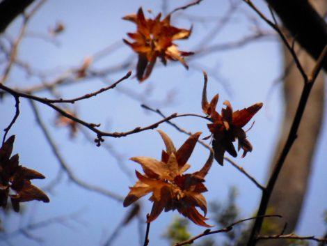 American hornbeam winged seeds, November 2, 2016. Photo: Judy Isacoff