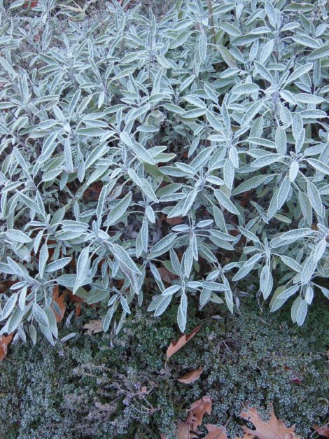 Frost on sage and thyme on November 1. Photo: Judy Isacoff