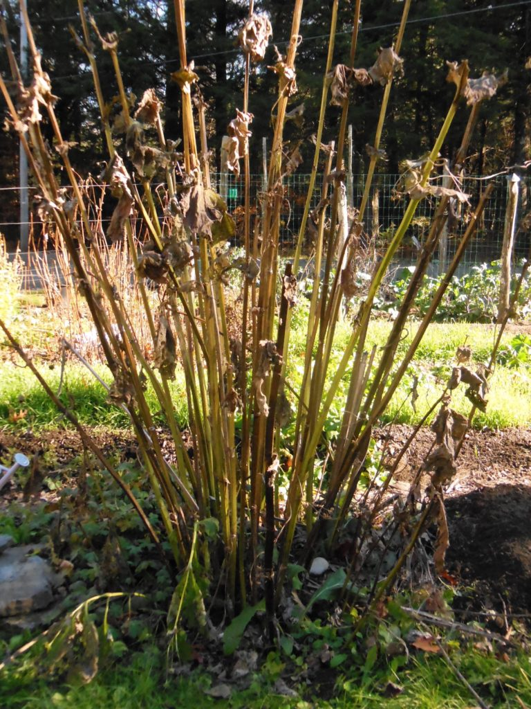 These stems inspire sculpting and to be left in the garden for winter interest. November 2016. Photo: Judy Isacoff