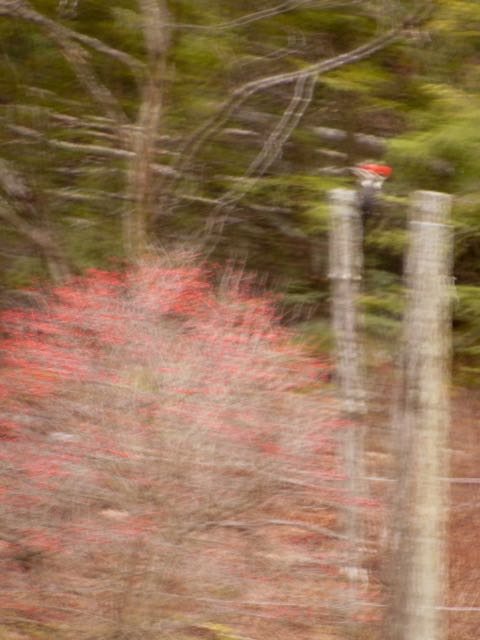 Pileated woodpecker standing on a cross piece between two poles to the right of a winterberry bush. Photographed through window glass from indoors. Photo: Judy Isacoff