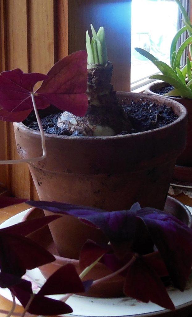 Amaryllis bulb. Photo: Judy Isacoff