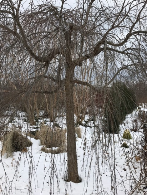A weeping crabapple inhabits the garden all season long but shows off its form more openly in the winter landscape.