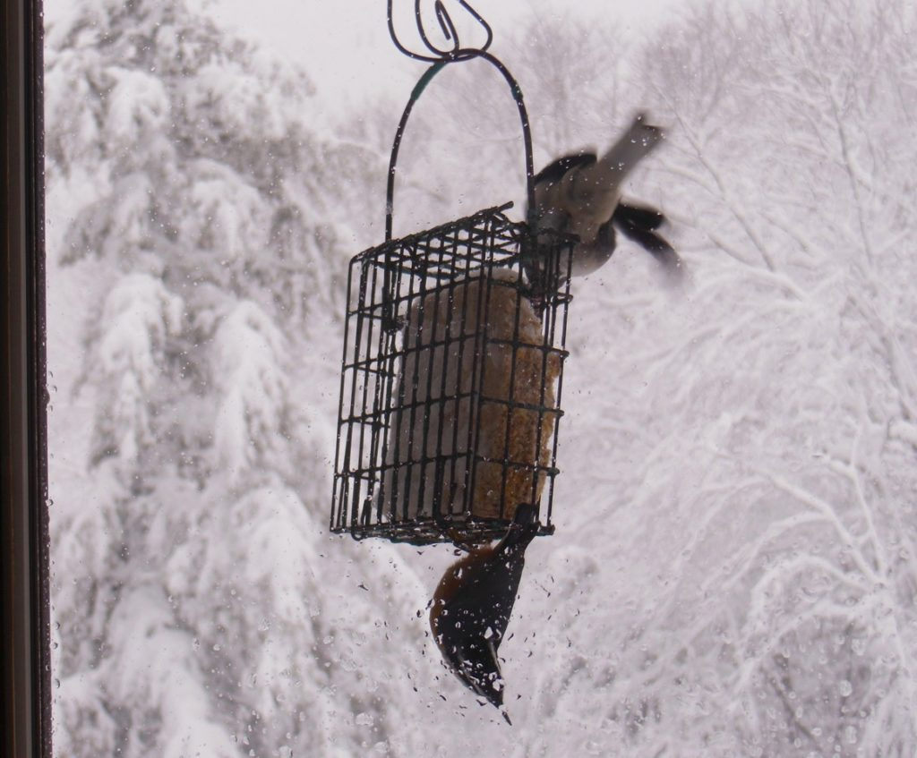 Rare feat of slate-colored junco, top. Usual acrobatics of rose-breasted nuthatch, below. Photo: Judy Isacoff