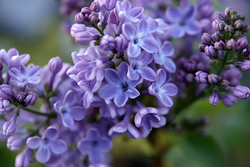 The fragrance of lilacs is intoxicating and calls to mind childhood and the loving work that went into caring for the hedge that surrounded our cottage. Cutting lilacs back every year or two helps to promote bloom and keeps the plants in good form.