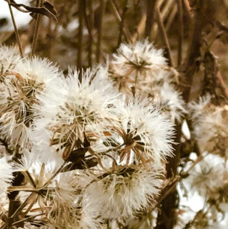 Composite flowers, like asters, are almost as beautiful in seed as they are in flower. The feathery pappuses are produced as the seeds mature so the wind can carry the seeds away from the mother plant to a place where they might germinate and grow.