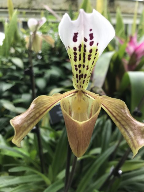 All ladyslippers are not created equal, at least in terms of their needs. This species, a tropical ladyslipper is epiphytic, unlike the terrestrial forms of ladyslipper native to the Northeast