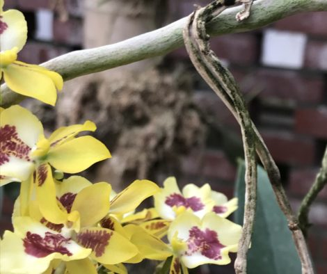 Oncidiums push forward their spikes of lusciously colored flowers