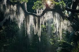 Mosses and Spanish moss, which is actually a form of Tillandsia, take their nutrients from the air and water, not from their host plants.