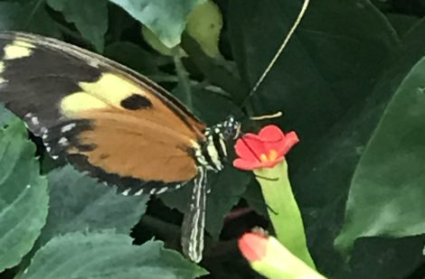If one wants to see what is special about non-native flora and fauna, one needs simply to step into the butterfly exhibit at the Nature Museum. The space also provides one with a much-needed warm-up after a walk in Lincoln Park.