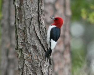 Adult red-headed woodpecker.