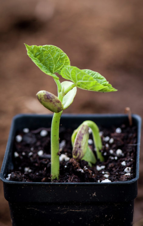 The seed leaves or cotyledons of this bean seedling, were contained within the seed itself and will nourish the young plant before shriveling up and falling off. The true leaves above will gather energy from the sun so the plant can continue to grow.