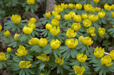 As I observe winter aconite in the garden of others, I realize that its brilliant yellow tones, which I would find strident in any other season, are a welcome sight in the spring garden.