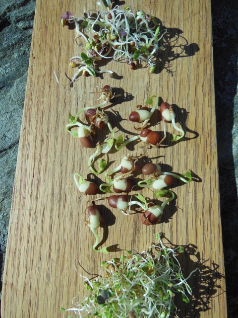 Radish sprouts, top; adzuki, middle; and clover. Photo: Judy Isacoff