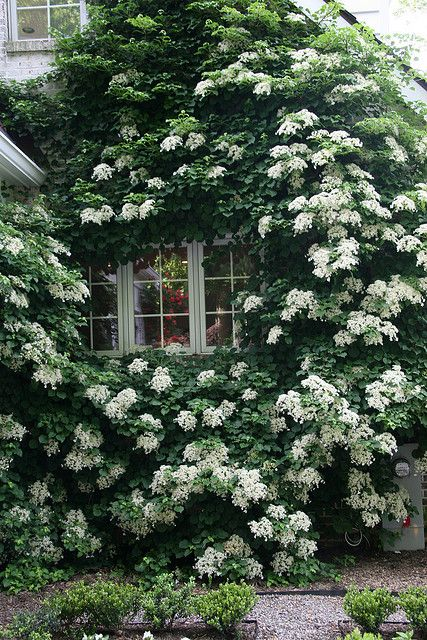 Planting perennial deciduous vines, such as this climbing hydrangea, on the west side of a house can help keep a house cooler in summer. The vine loses its leaves in fall so that it does not block out the sun that helps to warm the house in the winter.
