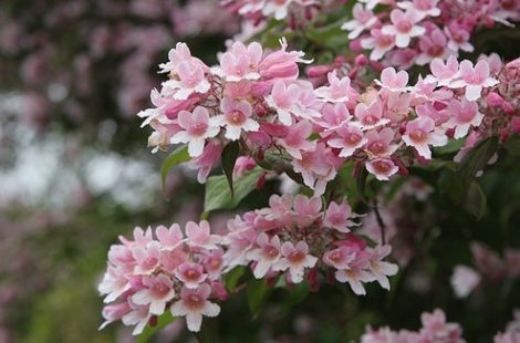 Linnea amabilis, or beautybush, bears its pink flowers early in the season, but its arching branches and foliage will shade windows from summer sun throughout the warmer months of the year. Shrubs can be cut back hard after bloom if they get too leggy, but that also reduces their shade benefit that season.