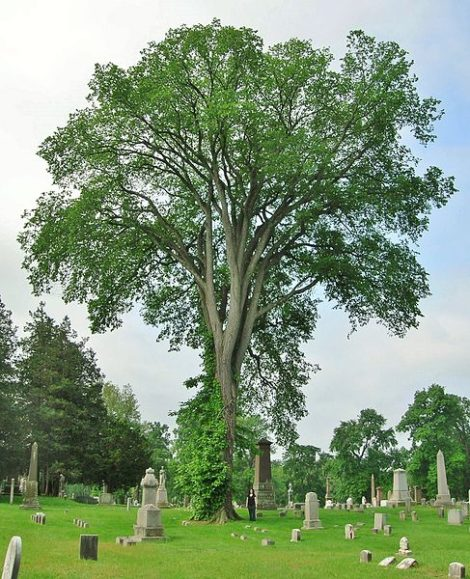There is nothing like the cooling effect of a mature shade tree, such as a vase-shaped American elm, to protect a house and its roof (or some other form of resting place, such as this Hartford, Conn. cemetery) with protection from summer sun, but this effect may be psychological as well as physical. Shade lowers our temperature in more than one way. It provides us with a peaceful place in which to retire, literally and figuratively.