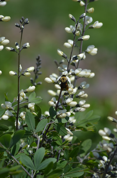 Baptisia leucantha is a wonderful perennial and will take on stature over the years, but takes seasons to mature.