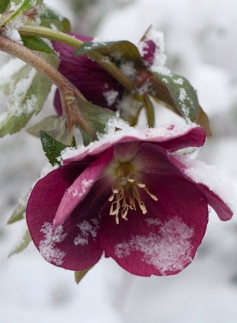 Setting evergreen boughs over a stand of hellebores may slow the emergence of their blooms and prevent them from being damaged by a March cold snap. Their flowers are worth the effort.