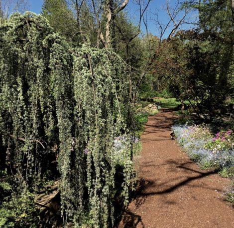 Unwrapped in the spring, this Blue Atlas cedar is a perfect counter to early blooming forget-me-nots.