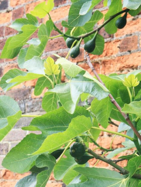 Setting a fig against a south-facing stone or brick wall can help provide it with the additional warmth it needs to make it through a cold winter.
