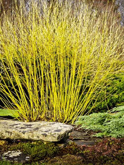 Yellow twigged dogwoods can add color to a windbreak in the off-season with their colorful stems and can be coppiced to keep them to a desirable size.
