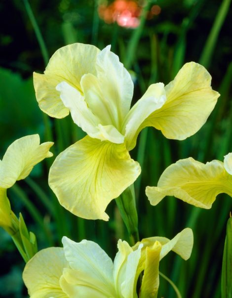 Siberian irises tend to die out in the center without regular division.