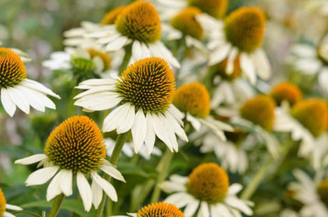 Although the flowers of this 'White Swan' coneflower vary in color from the purple flower of the species, it appears to be popular with pollinators. Perhaps, this is because it shares the same flower form as the species.