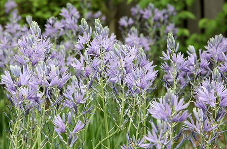 It is not surprising that Camassia leichtlinii supports wildlife in its native habitat, but why should I think it will provide sustenance for caterpillars in my garden 3,000 miles away from that region?