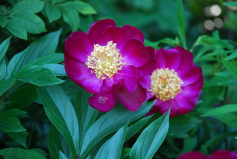 Herbaceous peonies can go a long time without being divided, but division will provide one with more plants. The biggest mistake gardeners make in transplanting peonies is to set their roots too deep. They flower best when their roots sit only a few inches beneath the surface of the soil.