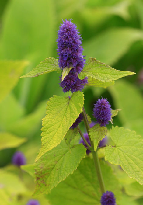 The yellow foliage of this cultivar of anise hyssop does not discourage pollinators from imbibing the nectar of its flowers, which are nearly identical to those of the species itself.
