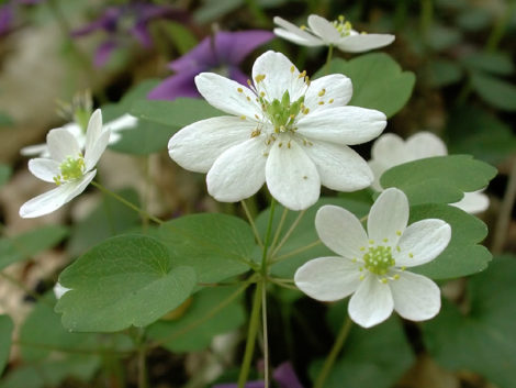 Thalictrum thalictroides, a native meadow rue, supports 15 species of butterflies and caterpillars.