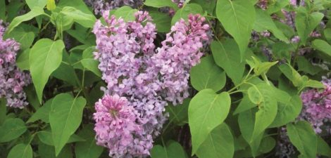 The common lilac, Syringa vulgaris, where vulgaris means common, not vulgar. Photo: Lee Buttala