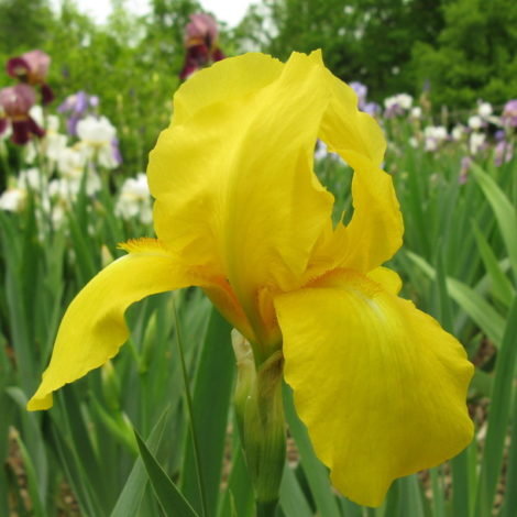 'Golden Encore' iris has been selected to rebloom again later in the season, packing twice the floral punch of the standard German iris, a fact that would increase its garden merit for my mother.