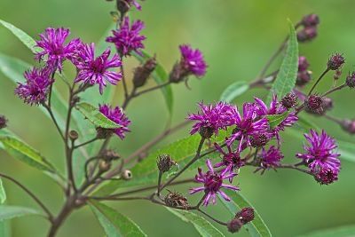 I have long admired a planting of New York ironweed at the Berkshire Botanical Garden. Given that I have the conditions it requires to prosper, I will bring it home and allow it to languish on my driveway until I determine a sunny home for this northeast native. Perhaps it will be in the ground by the time it blooms in late summer.