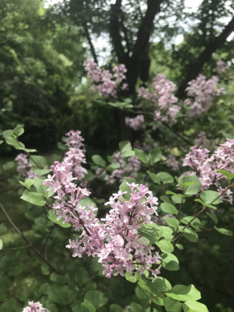 'Miss Kim' sets the standard for garden-worthy smaller lilacs, but there are many other species worth considering. Photo: Lee Buttala