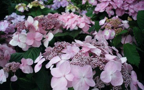 'Twist and Shout' hydrangea was the first reblooming lacecap hydrangea to be 'brought to market.'