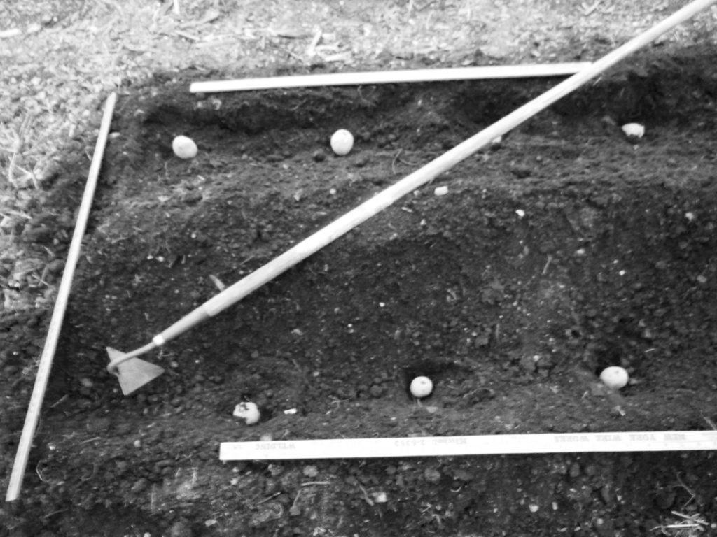Seed potato spacing. May 4, 2015. Photo: Judy Isacoff