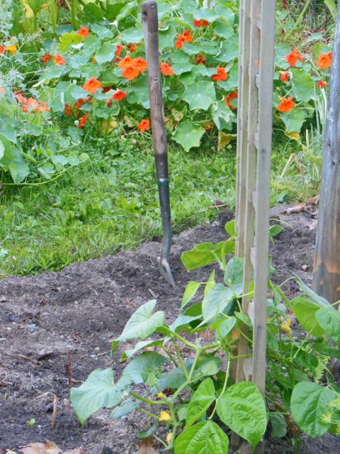 Nasturtiums surround squash plants, background. Beans and cucumbers climb together. Aug. 9, 2016. Photo: Judy Isacoff