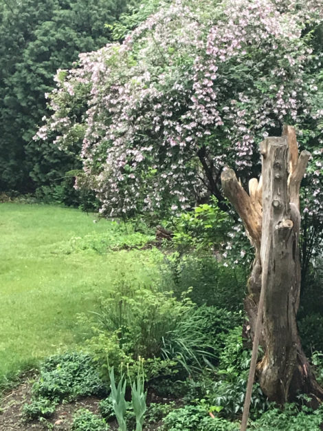Beautybush can be cut back to new growth after it has bloomed and will push forward in the months ahead. This specimen will be cut to the ground after it flowers to give it new shape and vigor.